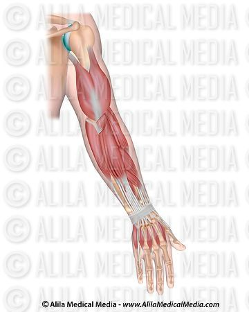 Whole arm muscles posterior, unlabeled.