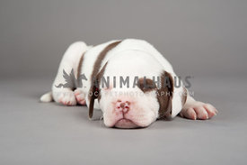 white and brown pitbull puppy sleeping in the studio