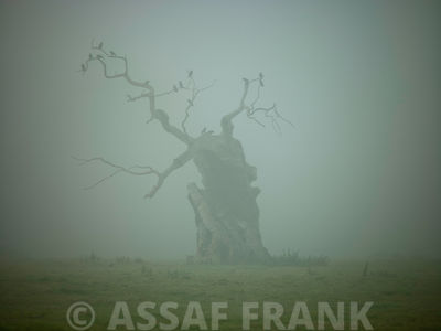 Single Tree in mist and fog
