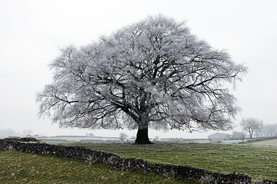 Beech Tree with Hoar Frost