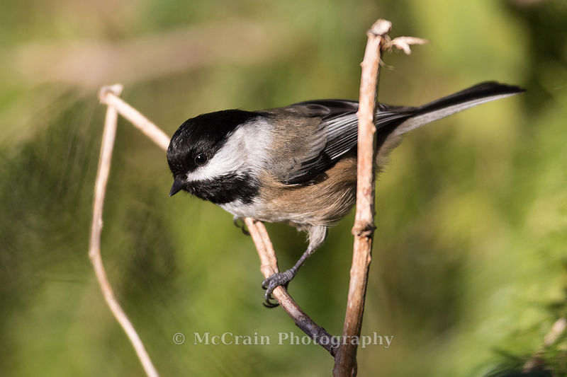 A Black-capped Chickadee about to fly down to one of the many feeders along the refuge paths.