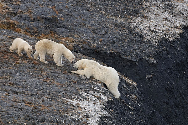 Polar bear (Ursus maritimus) struggling up a steep slope watched by female with cub, Wrangel Island, Far Eastern Russia, Sept...