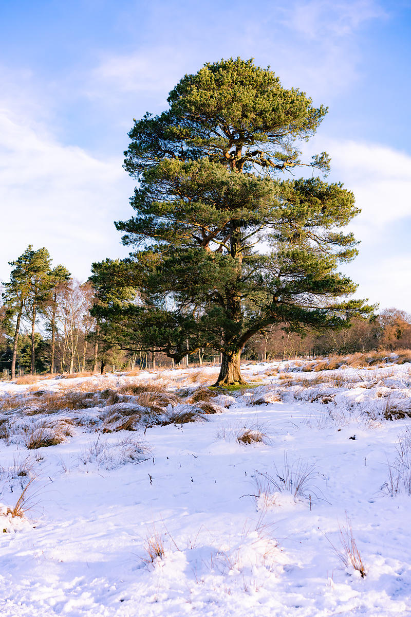Scots pine on the Longshaw Estate