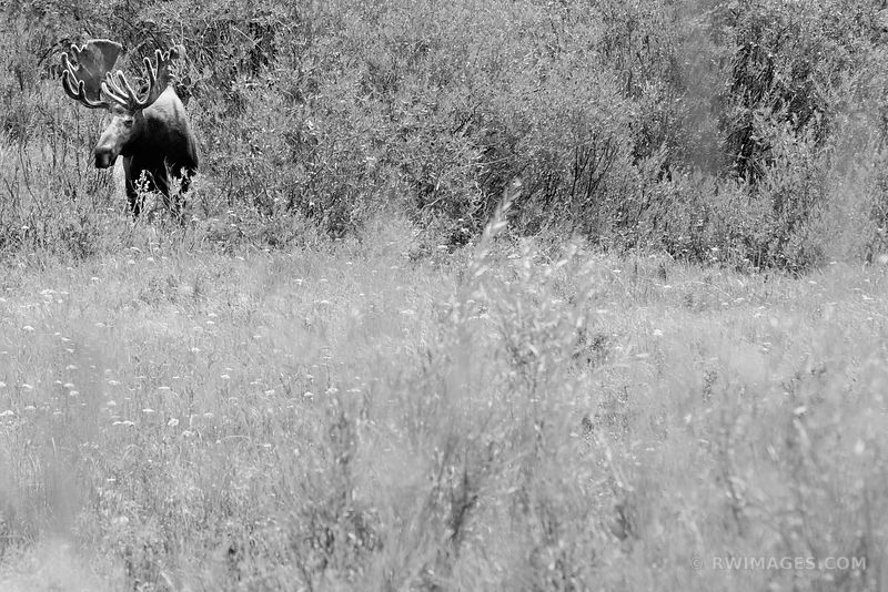BULL MOOSE IN A MEADOW KAWUNEECHE VALLEY ROCKY MOUNTAIN NATIONAL PARK COLORADO BLACK AND WHITE
