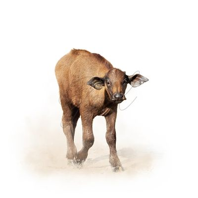 Baby Cape Buffalo Isolated on White