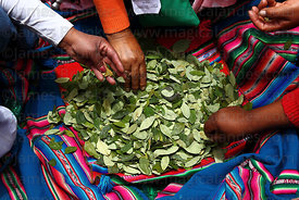 People chewing coca leaves ( Erythroxylum coca ) at an event to celebrate Bolivia rejoining the 1961 UN Convention , La Paz ,...