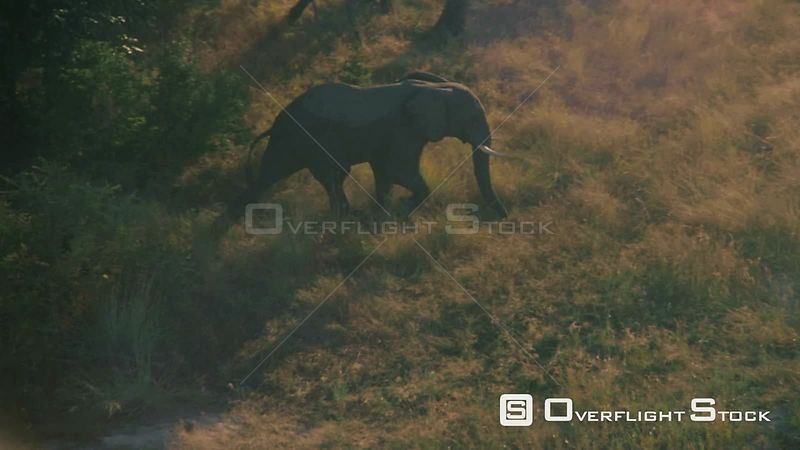 Aerial single elephant running and walking through tall grass Botswana