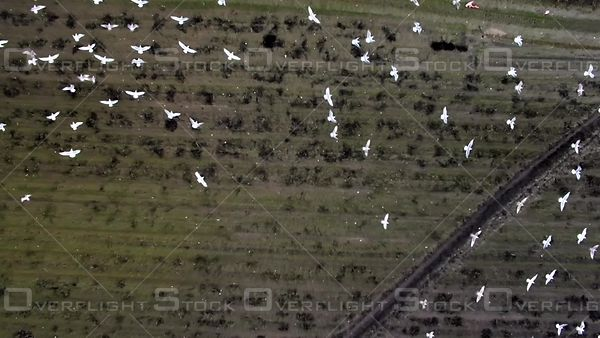 Seagulls on a Farmers Field in Winter. Richmond BC