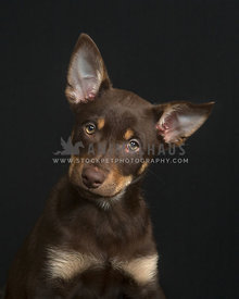 Chocolate Kelpie puppy head tilt portrait on black background
