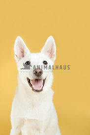 white german shepherd smiling portrait on a yellow background