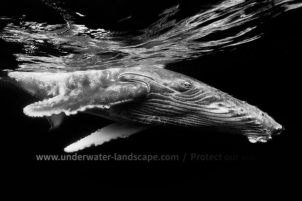 Humpback whale calf in black and white