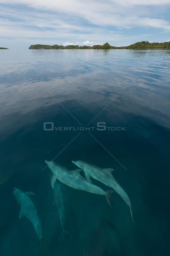 Pod of Indo-Pacific bottlenose dolphins (Tursiops aduncus) just below sea surface in flat calm waters. Raja Ampat, West Papua...