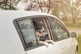 border collie hanging out of car window