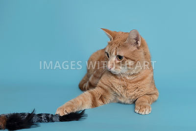 Cat curiously playing with feather toy