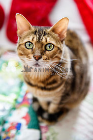 Bengal cat sitting on Christmas decorations