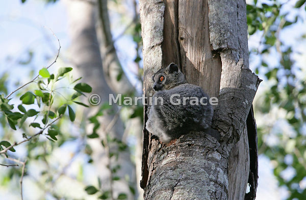 White-Footed Sportive Lemur (Lepilemur leucopus) (also known as White-Footed Weasel Lemur or Dry-Bush Weasel Lemur), Berenty ...