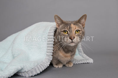 Calico cat sitting under blanket looking at camera