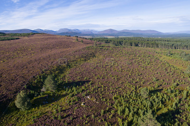 Natural regeneration of pine woodland on Dorback Estate, Cairngorms National Park, Scotland, UK, June