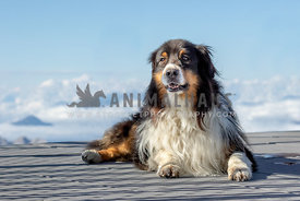 An australian shepherd with clouds in the background