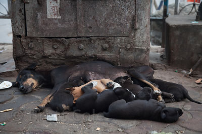 A stray dog coddles five puppies on the street in the Shyambazar area of Kolkata, India.