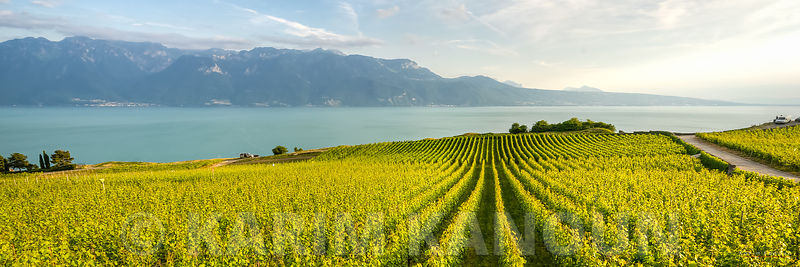 Panorama - Lines of green vineyards - Lavaux wineries