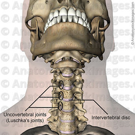 neck-uncovertebral-joint-luschkas-joints-intervertebral-disc-discus-intervertebralis-chin-front-skin-names