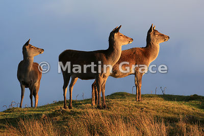 Three Red Deer hinds (Cervus elaphus) in late afternoon sunlight, Scottish Highlands