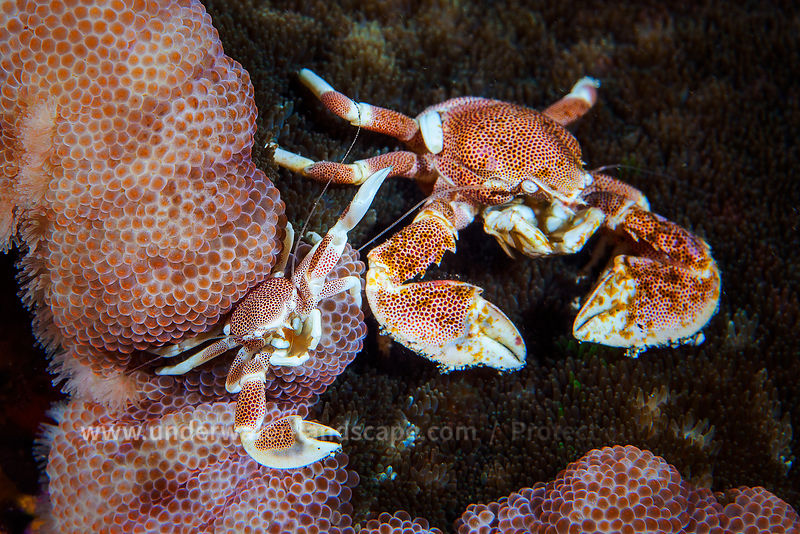 Crabs underwater photo - Soon and Father?