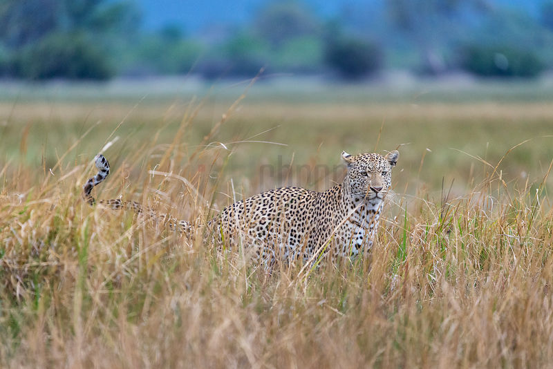 Leopard in Tall Grass