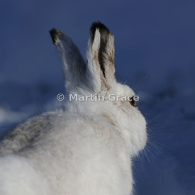 Mountain Hare (Arctic Hare) (Lepus timidus) from behind to show the 360-degree vision typical of a prey animal, February 13, ...