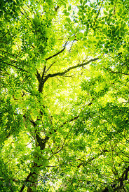 Green leaves and branches of trees, looking up