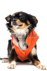 chihuahua wearing vest