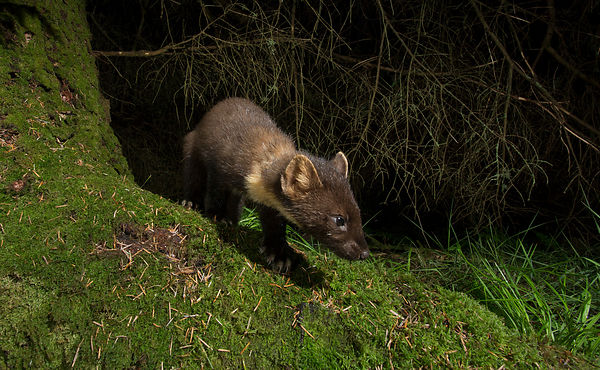 Pine Marten on the search for food