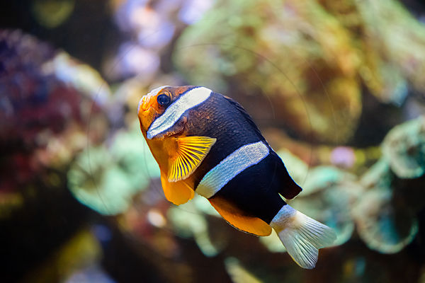 Poisson-clown à nageoires orange nageant dans un aquarium