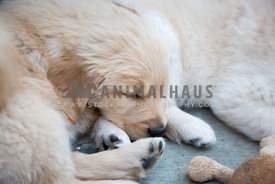 Golden Retreiver puppies sleeping in a group