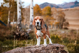 Beagle in the mountains in fall