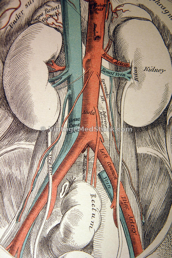 nurs grays surface anatomy - 575×864