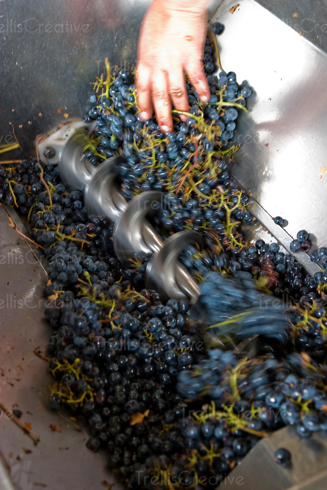 Close-up of putting malbec wine grapes into a crusher