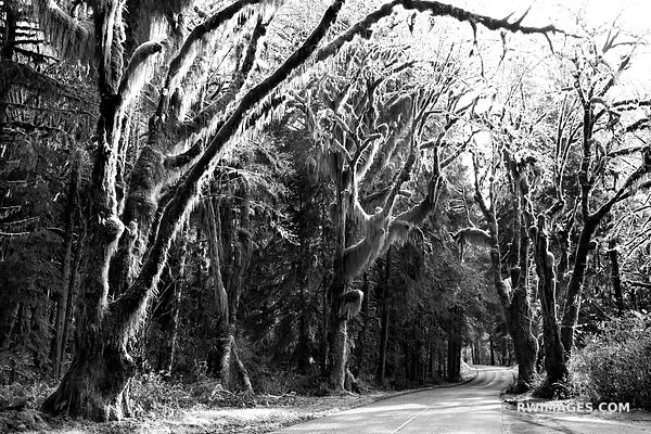 ROAD TO HOH RAINFOREST OLYMPIC NATIONAL PARK WASHINGTON BLACK AND WHITE