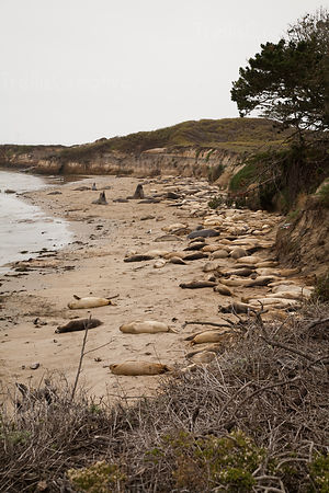 Seals relaxing on the coastline at beach