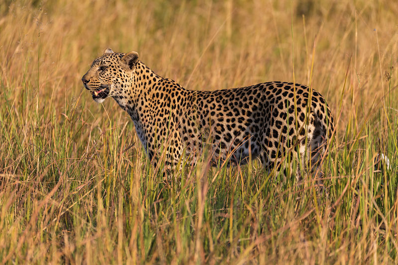 Portrait of a Female Leopard in Tall Grass
