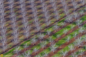 Bare Walnut Trees from the Air #2