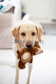 labrador with teddy bear in mouth