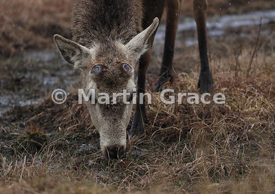 Red Deer stag (Cervus elaphus) showing the open wound on the top of each pedicle, from which the antlers have recently been s...