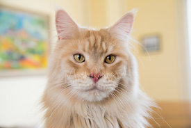 Close-up of Red Silver Maine Coon Cat with Yellow Eyes