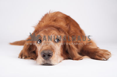 senior golden retriever laying chin down on white background
