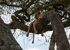 A lioness (Panthera leo) resting in a tree, Serengeti National Park, Tanzania; Landscape