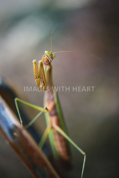 Preying_Mantis_Full_Body