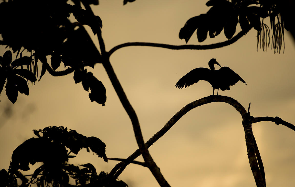 A Green Ibis dries his wings during sunset in the Caribbean rainforest close to the border with Nicaragua