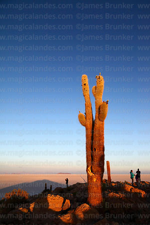 Tourists and forked Echinopsis atacamensis (pasacana subspecies) cactus on summit of Incahuasi Island at sunrise, Salar de Uy...